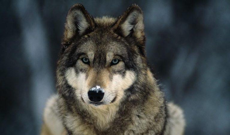 كيف غير 14 ذئب  شكل الحياة تماما بعد غياب أكثر من 70 عاما