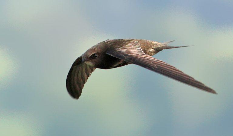 تعرف على السمامة: طائراً صغيراً يستطيع التحليق لعشرة أشهر متواصلة