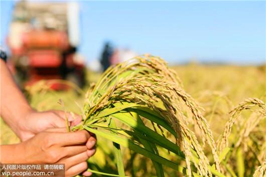 سلالة جديدة من الأرز ينمو في الماء المالح يمكنه إطعام 200 مليون شخص