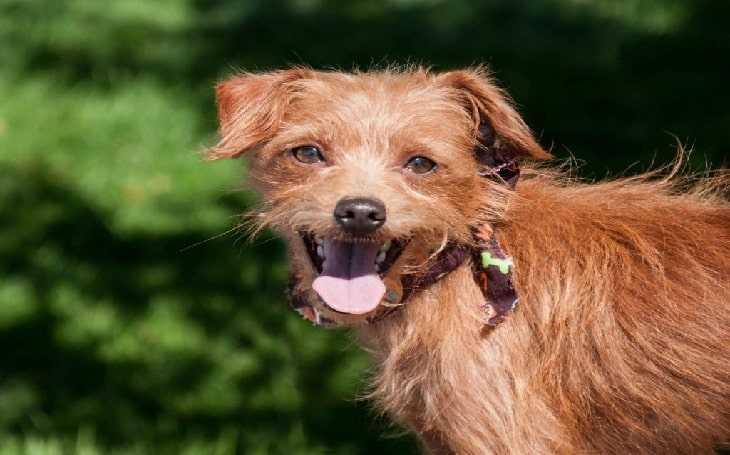انواع الكلاب - كلب affenhuahua