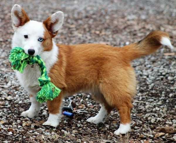 انواع الكلاب - كلب Auggie